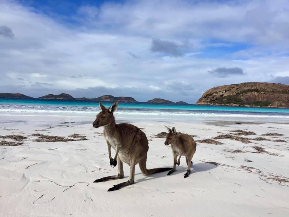 Kangoeroes op het strand bij Lucky Bay in nationaal park Cape le Grand