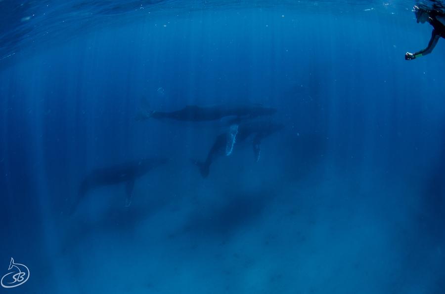 Schwimmen mit Walen im Ningaloo Riff bei Exmouth.