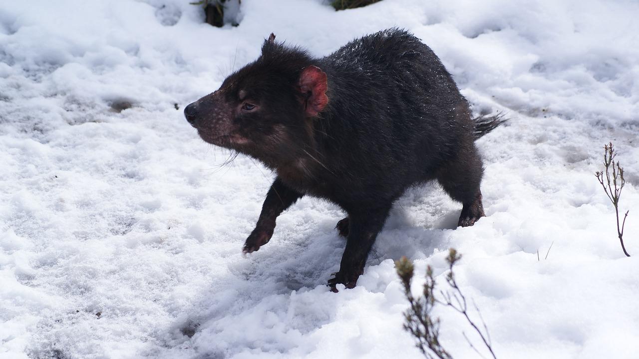 Tasmaanse duivel in de sneeuw tijdens een working holiday reis in Australië.