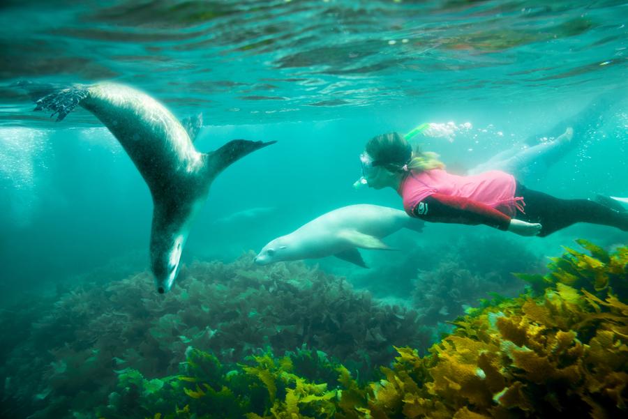 Schwimmen mit Seelöwen in Port Lincoln Australia.