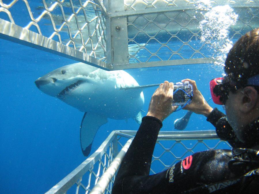 Taucher im Käfig mit Weißem Hai in Port Lincoln South Australia.