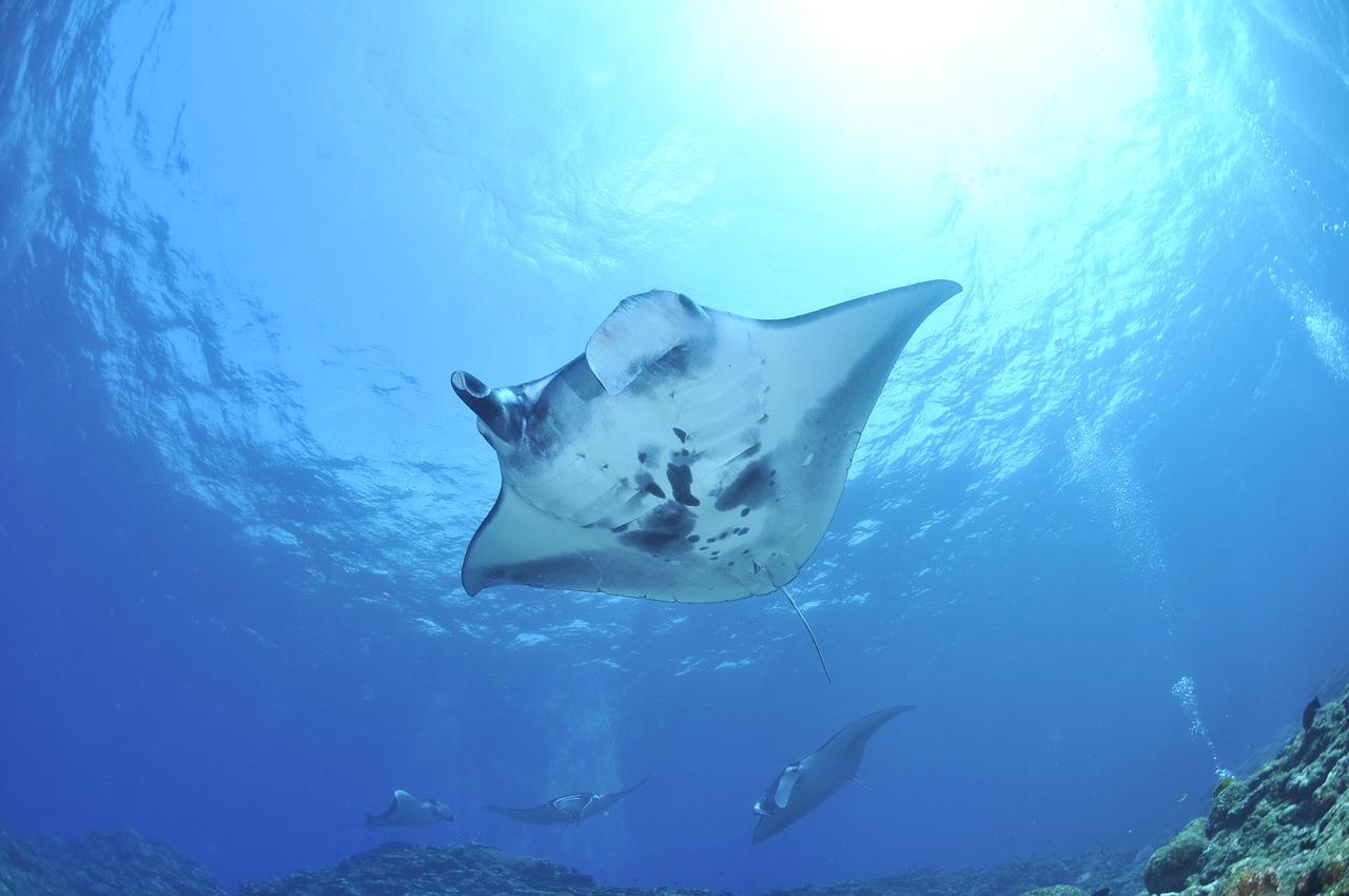 schwebende riesen Mantarochen unter Wasser