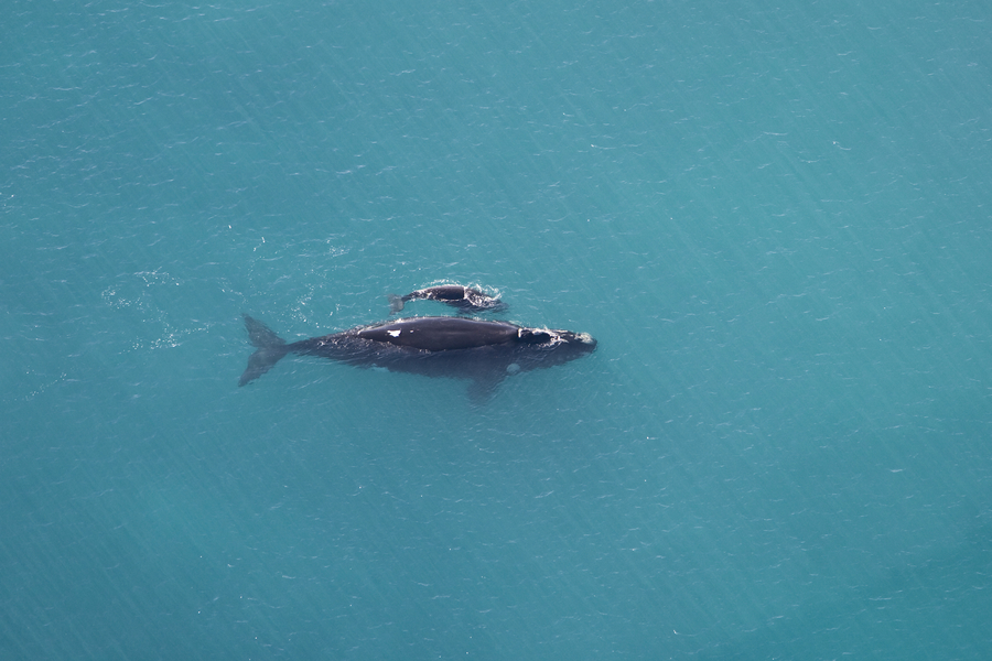Moeder en kalf walvis van bovenaf gefotografeerd in helder blauwe zee.