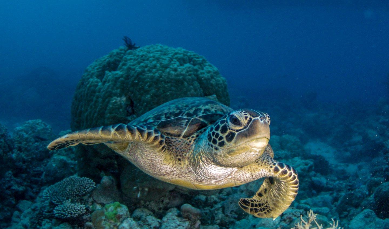Meeresschildkröte am Ningaloo Riff bei Exmouth.